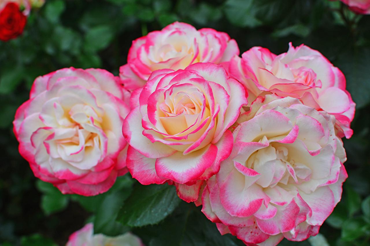 Photo Roses Flowers Closeup rose flower