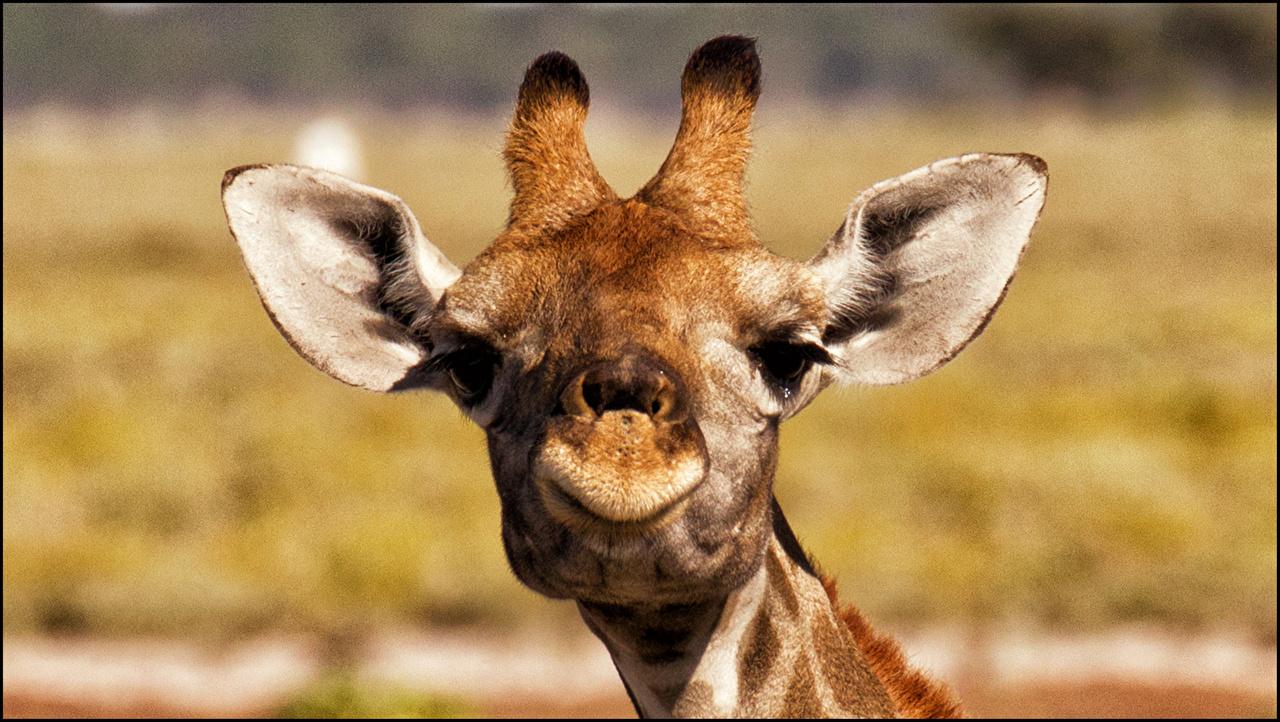 Fonds D Ecran Girafe Tete Voir Animaux Telecharger Photo