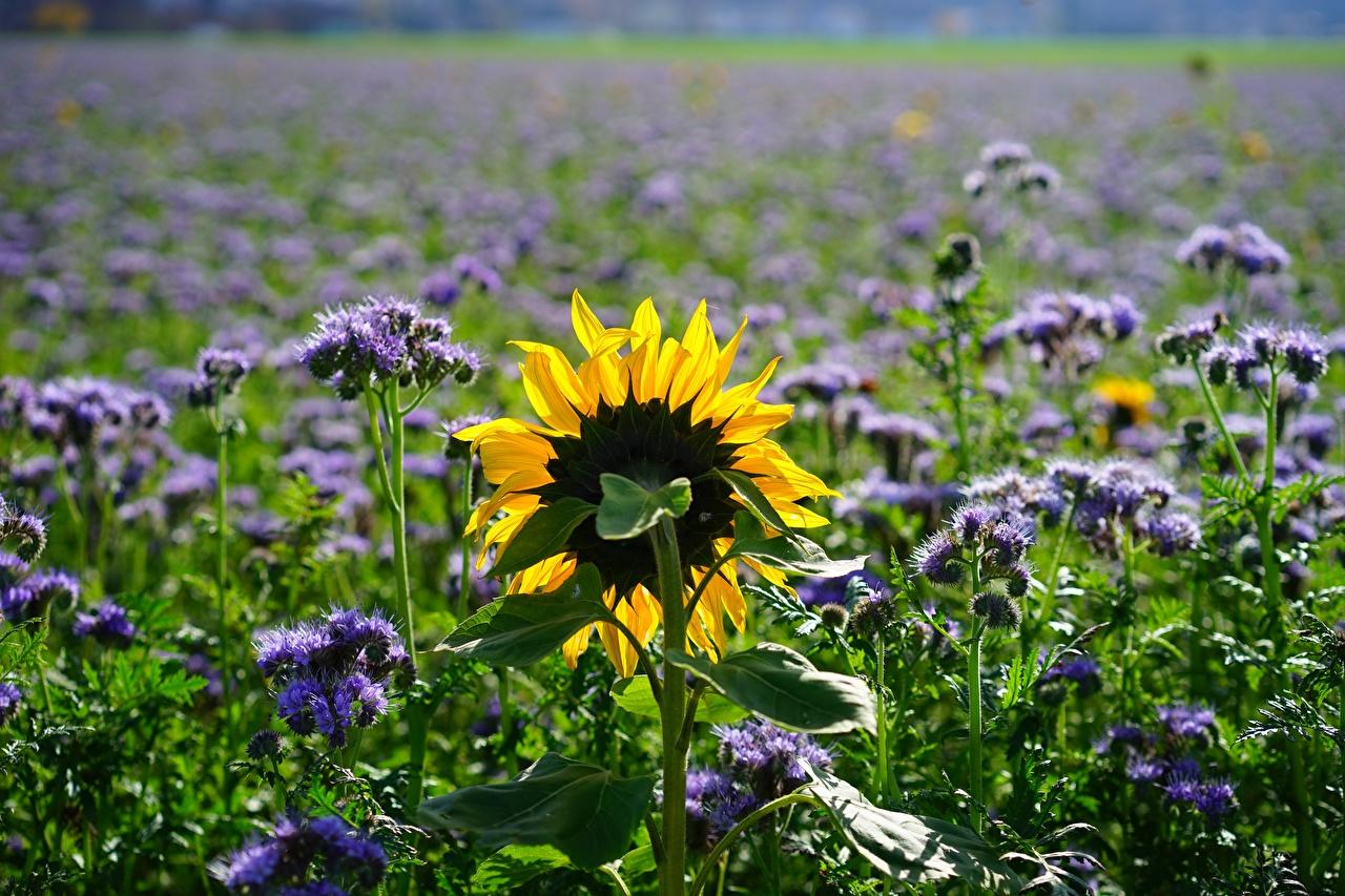 Fotos unscharfer Hintergrund Natur Sommer Acker Sonnenblumen Bokeh Felder