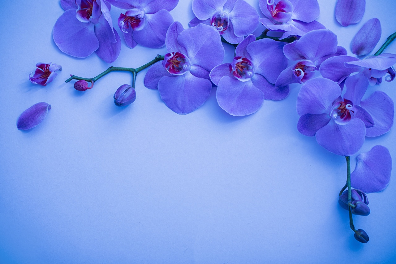 Photo Violet Petals Orchid flower Branches Template greeting card orchids Flowers