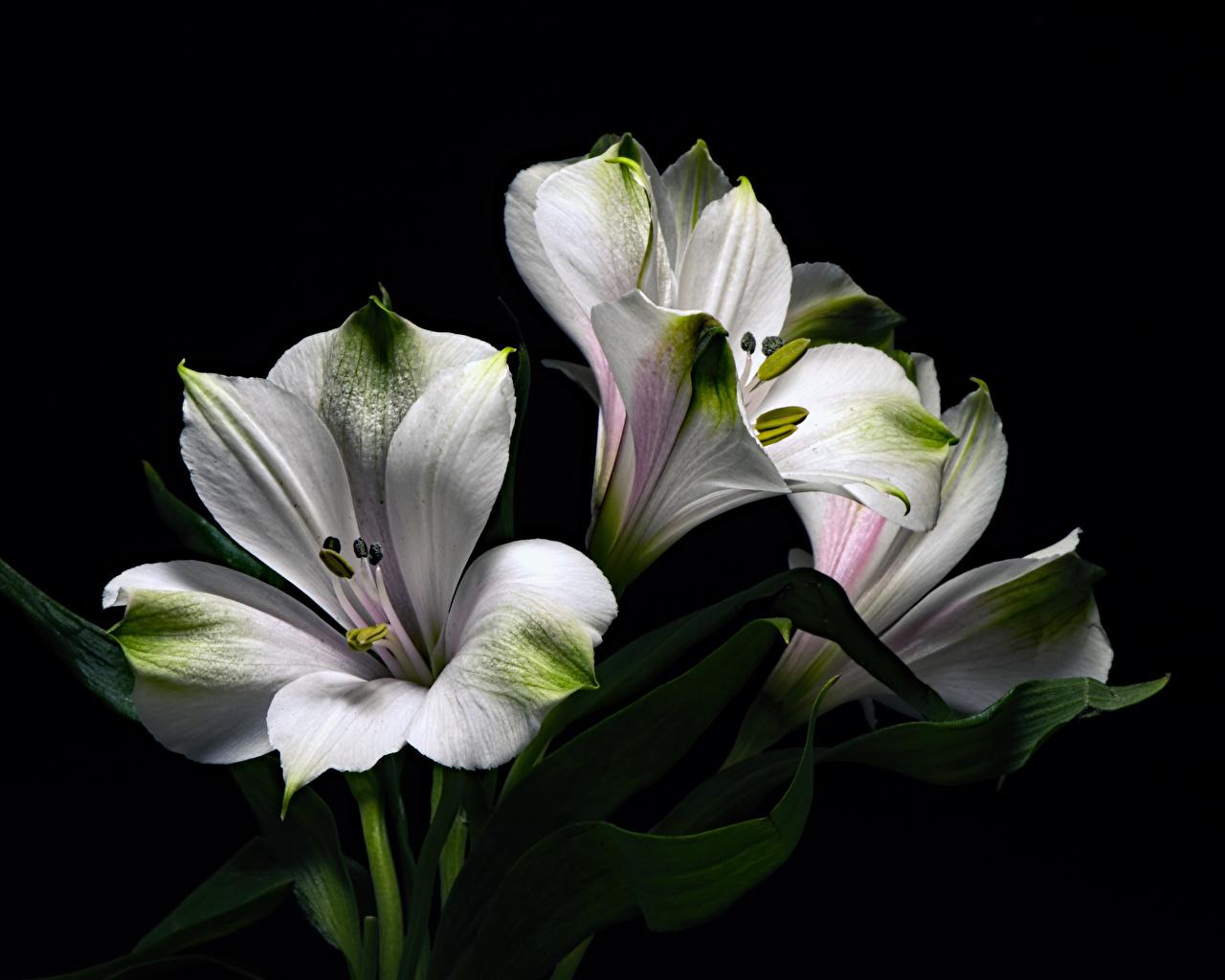 Foto Weiß Blumen Alstroemeria Großansicht Schwarzer Hintergrund Blüte Inkalilien hautnah Nahaufnahme