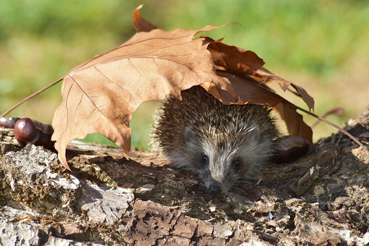 Images Hedgehogs Leaf Autumn Animals Foliage animal