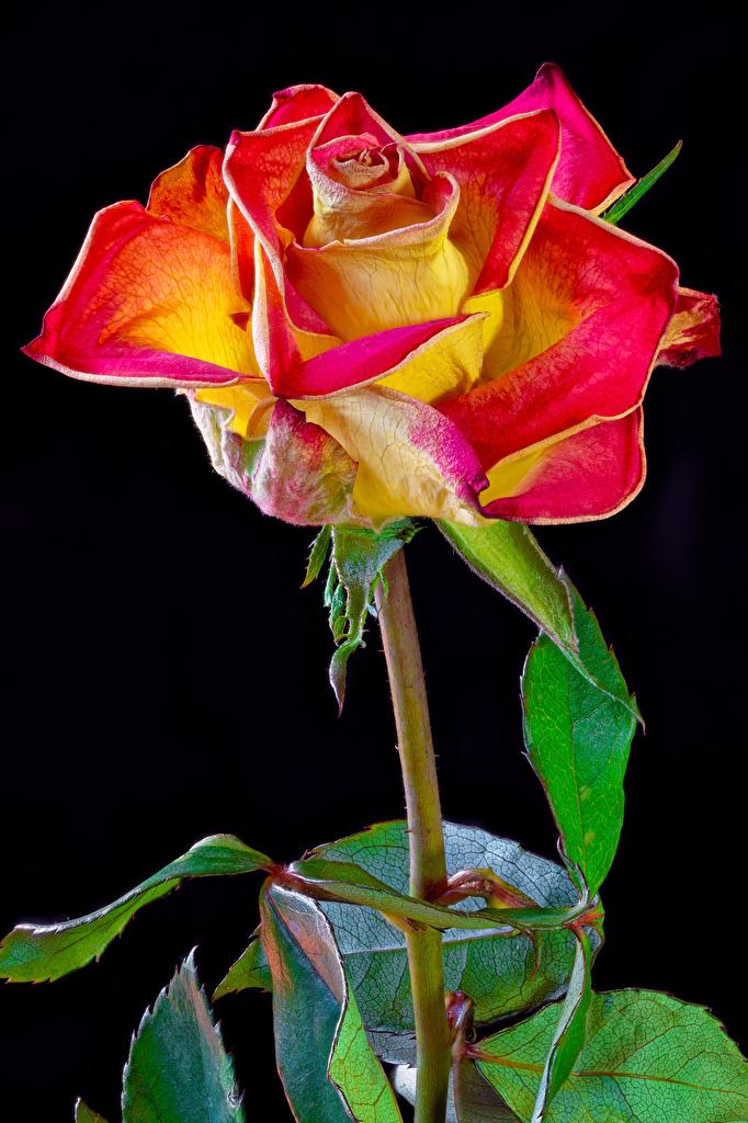 Bilder von Rosen Blumen Großansicht Schwarzer Hintergrund  für Handy Rose Blüte hautnah Nahaufnahme