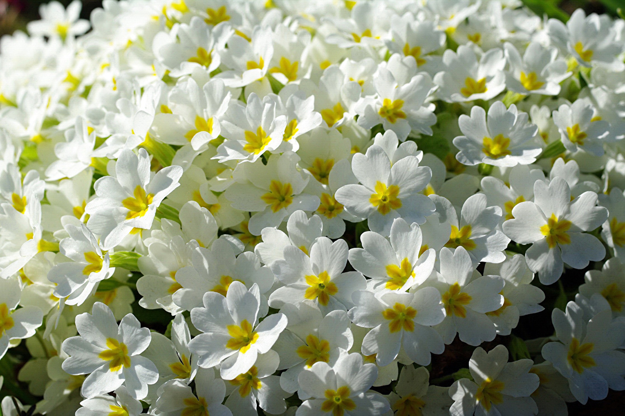 Pictures White Primula Flowers Many flower