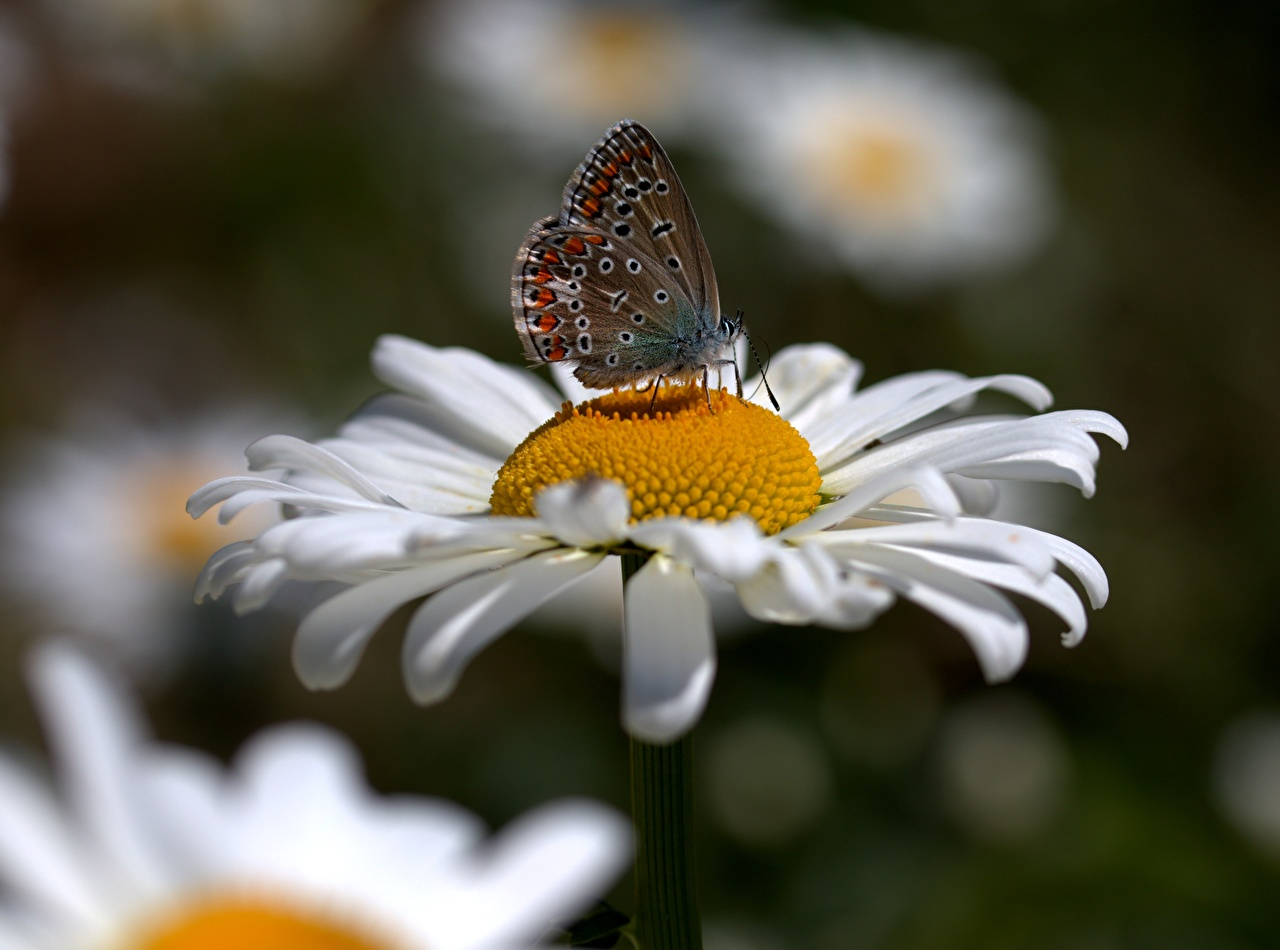 Desktop Wallpapers Insects butterfly blurred background Flowers matricaria Closeup Butterflies Bokeh flower Camomiles