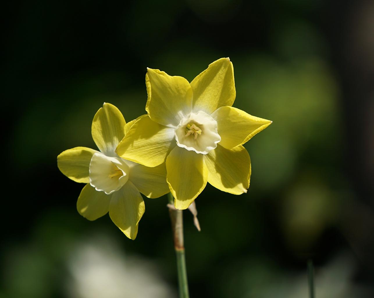 Tapeta na pulpit Bokeh Dwa 2 Żółty kwiat narcyz rozmazane tło dwie dwoje dwóch Kwiaty Żonkile