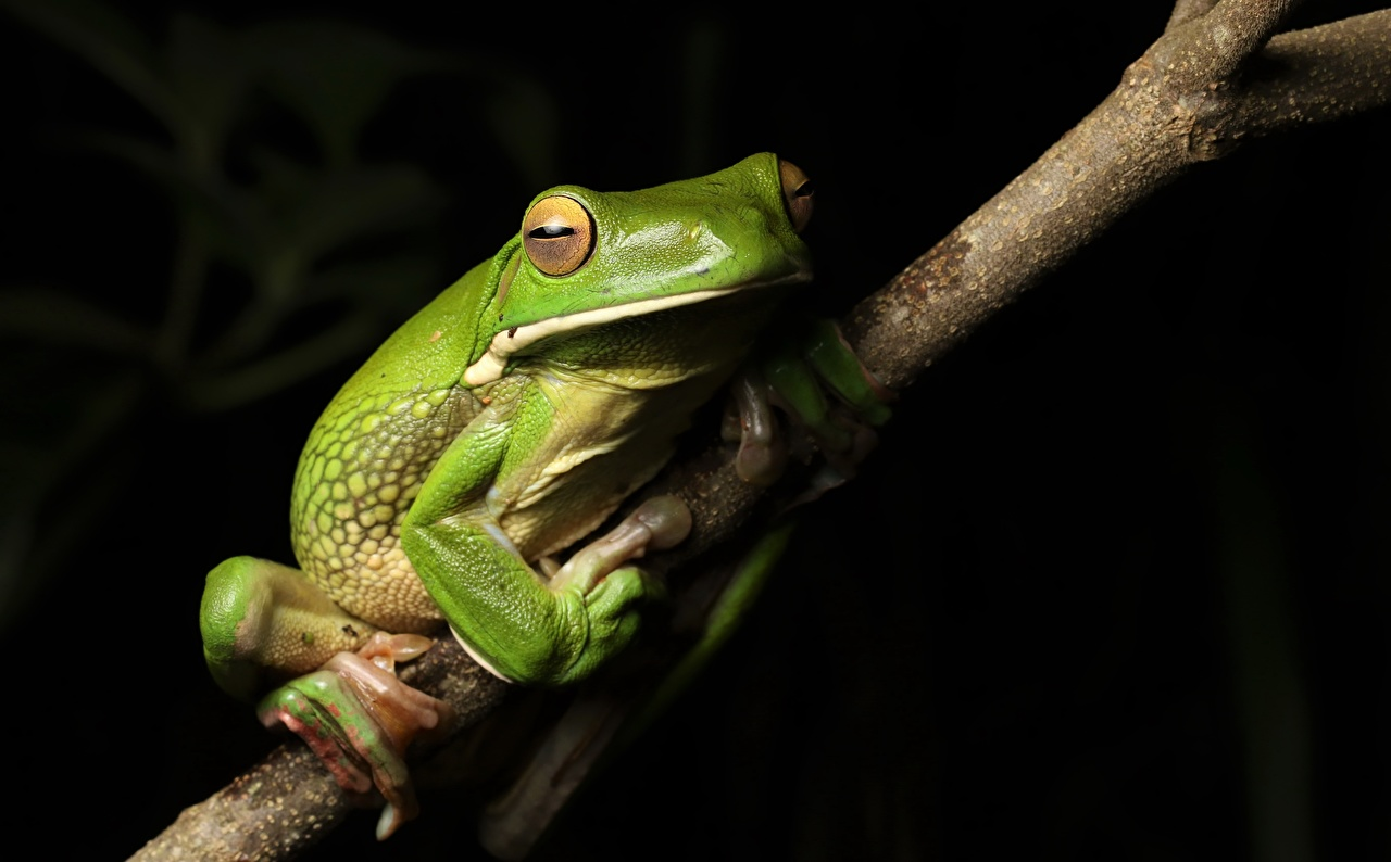 Photo White-lipped Tree frog Green Branches Animals Frogs animal