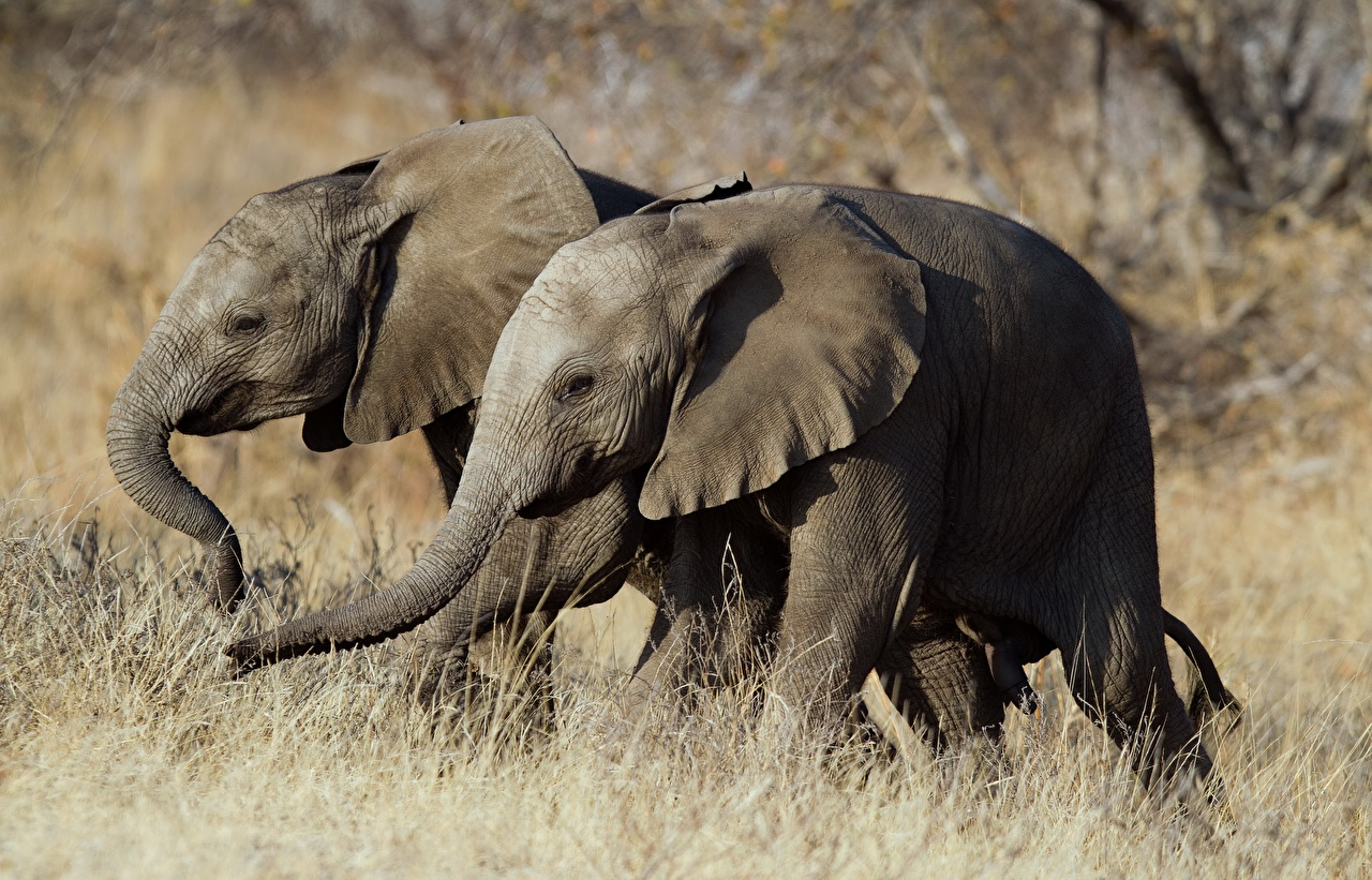 Photos elephant Two Animals Elephants 2 animal
