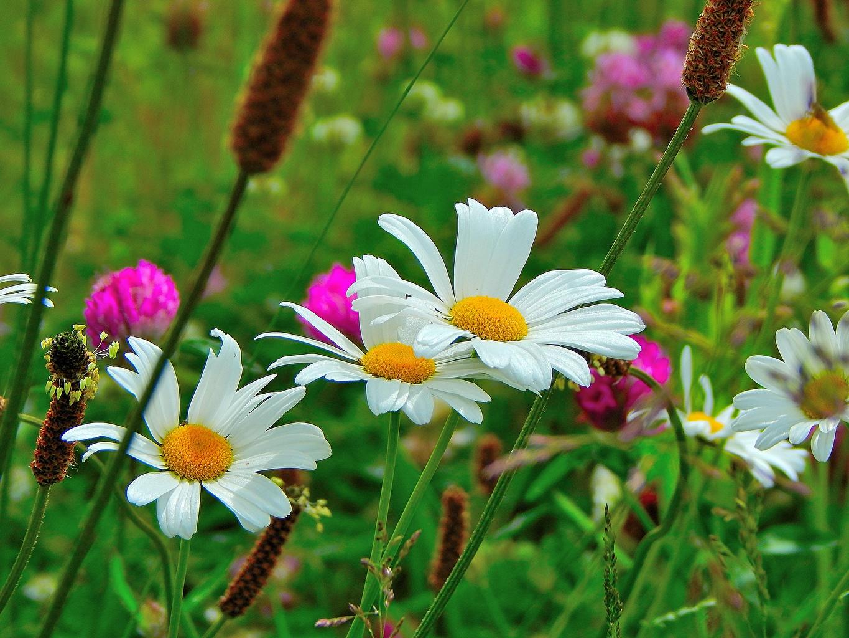 ,母菊属,特寫,,花卉,