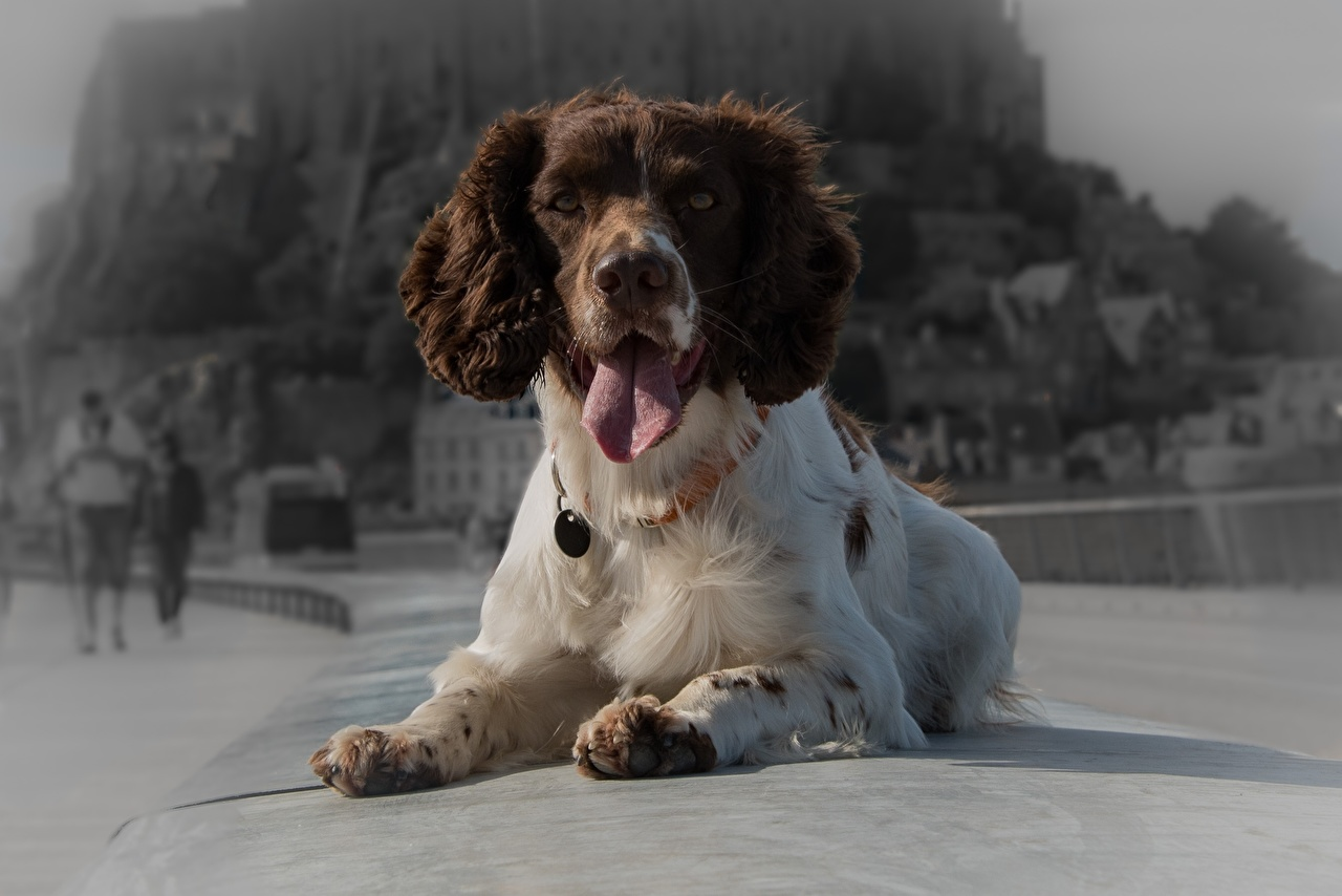 Pictures Spaniel dog Animals Dogs animal