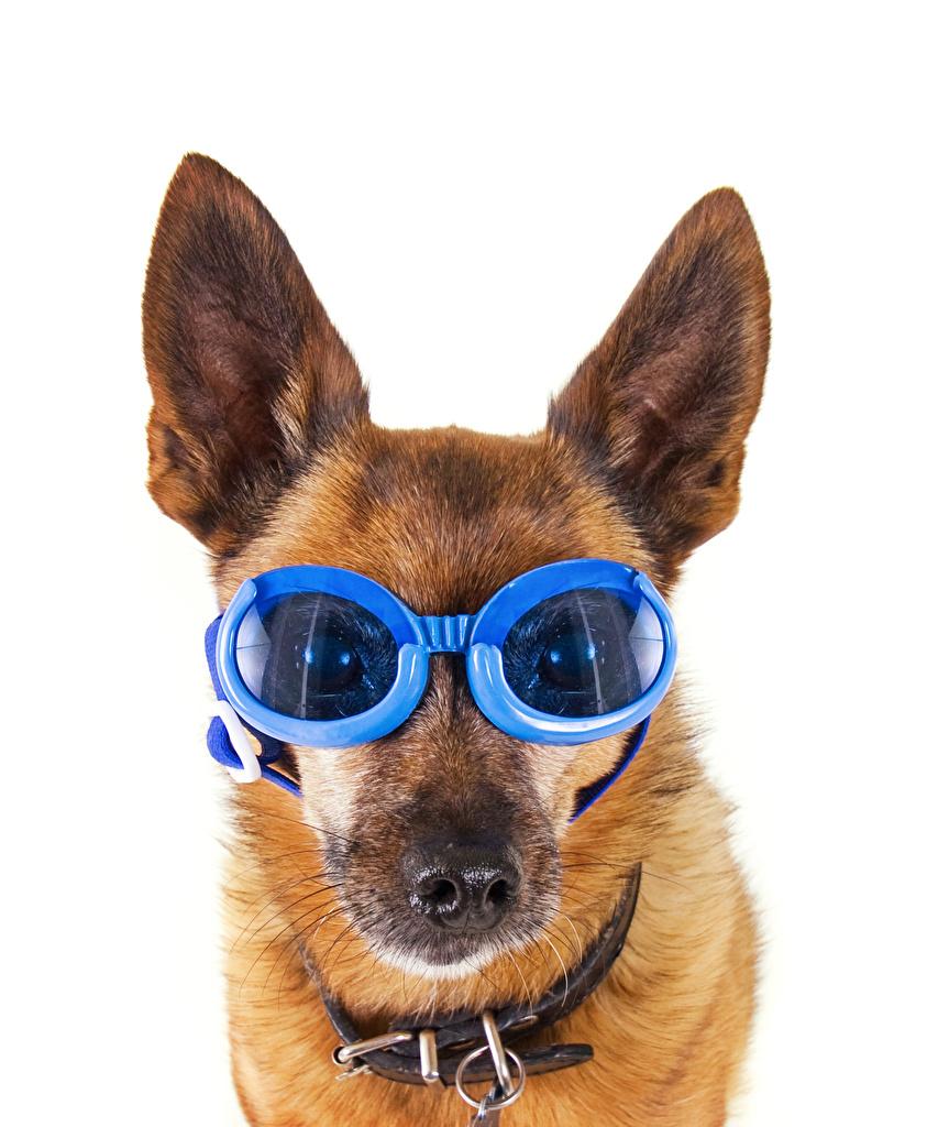 Bilder von Shepherd Hunde Lustige Brille Schnauze Tiere Weißer hintergrund