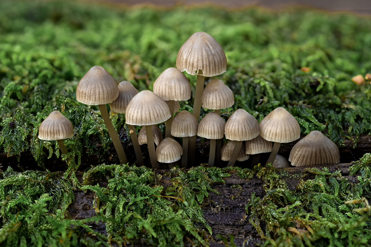 Picture bonnet mushrooms Nature Moss Mushrooms nature