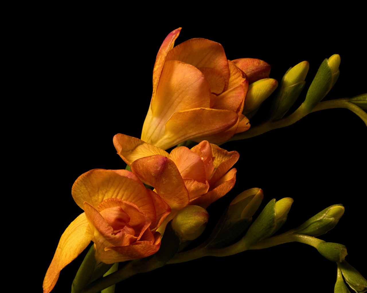 Fotos Orange Blumen Freesie Knospe Großansicht Schwarzer Hintergrund Blüte Freesien hautnah Nahaufnahme Blütenknospe