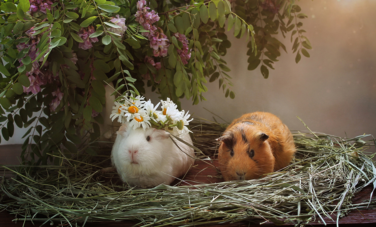 Desktop Wallpapers Guinea pigs 2 Lilac matricaria Straw Animals cuy cavy Two Syringa Camomiles animal