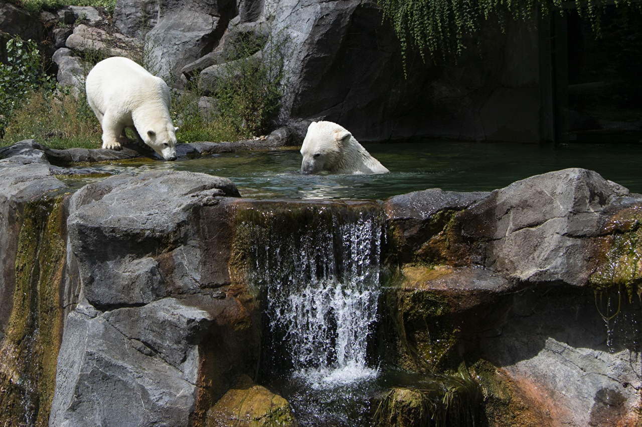 Picture Vienna Polar bears Bears Austria 2 Waterfalls stone Animals bear Two Stones animal
