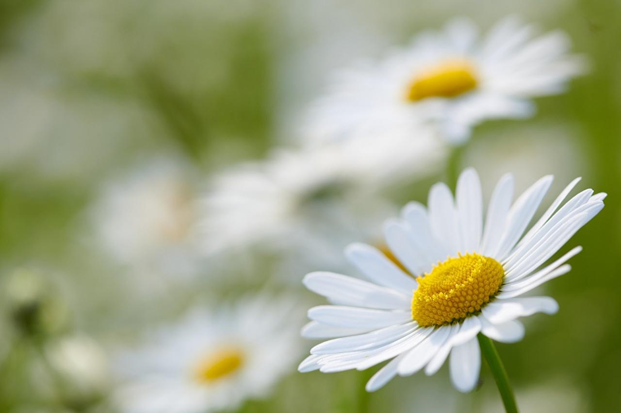 Bilder Bokeh Weiß Blüte Kamillen Großansicht unscharfer Hintergrund Blumen hautnah Nahaufnahme