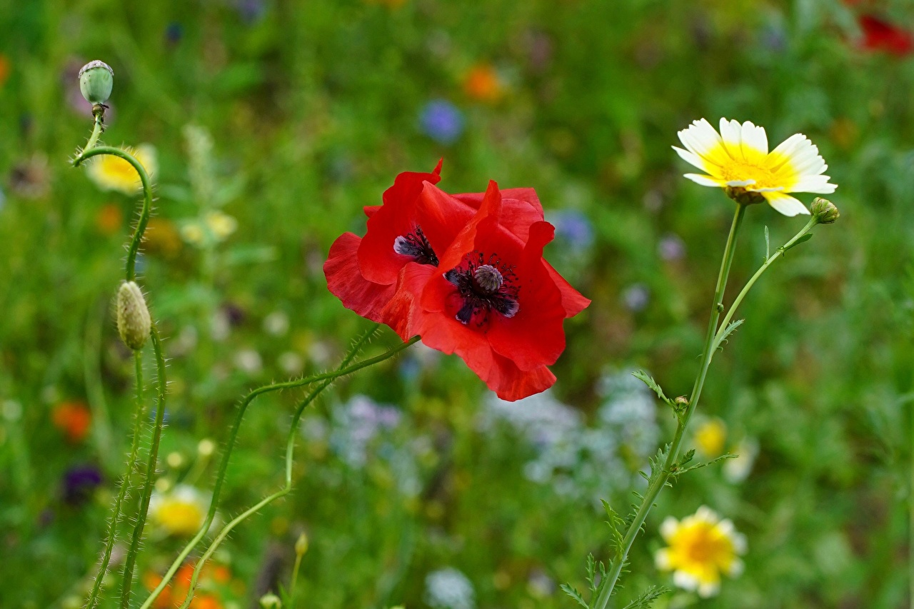 Photos blurred background Red flower Poppies Closeup Flower-bud Bokeh papaver Flowers
