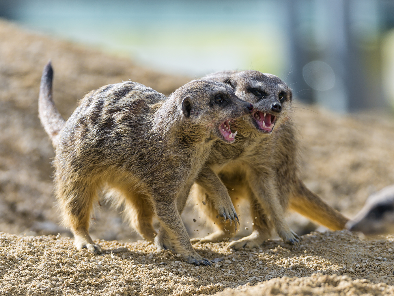 Photo suricate 2 Sand Animals ©Tambako The Jaguar Meerkat Two animal