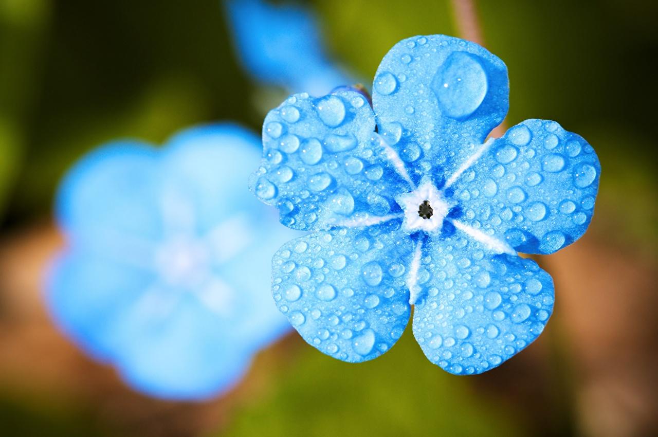 Images flower scorpion grasses Bokeh Macro Drops Light Blue Closeup Flowers Myosotis blurred background Macro photography