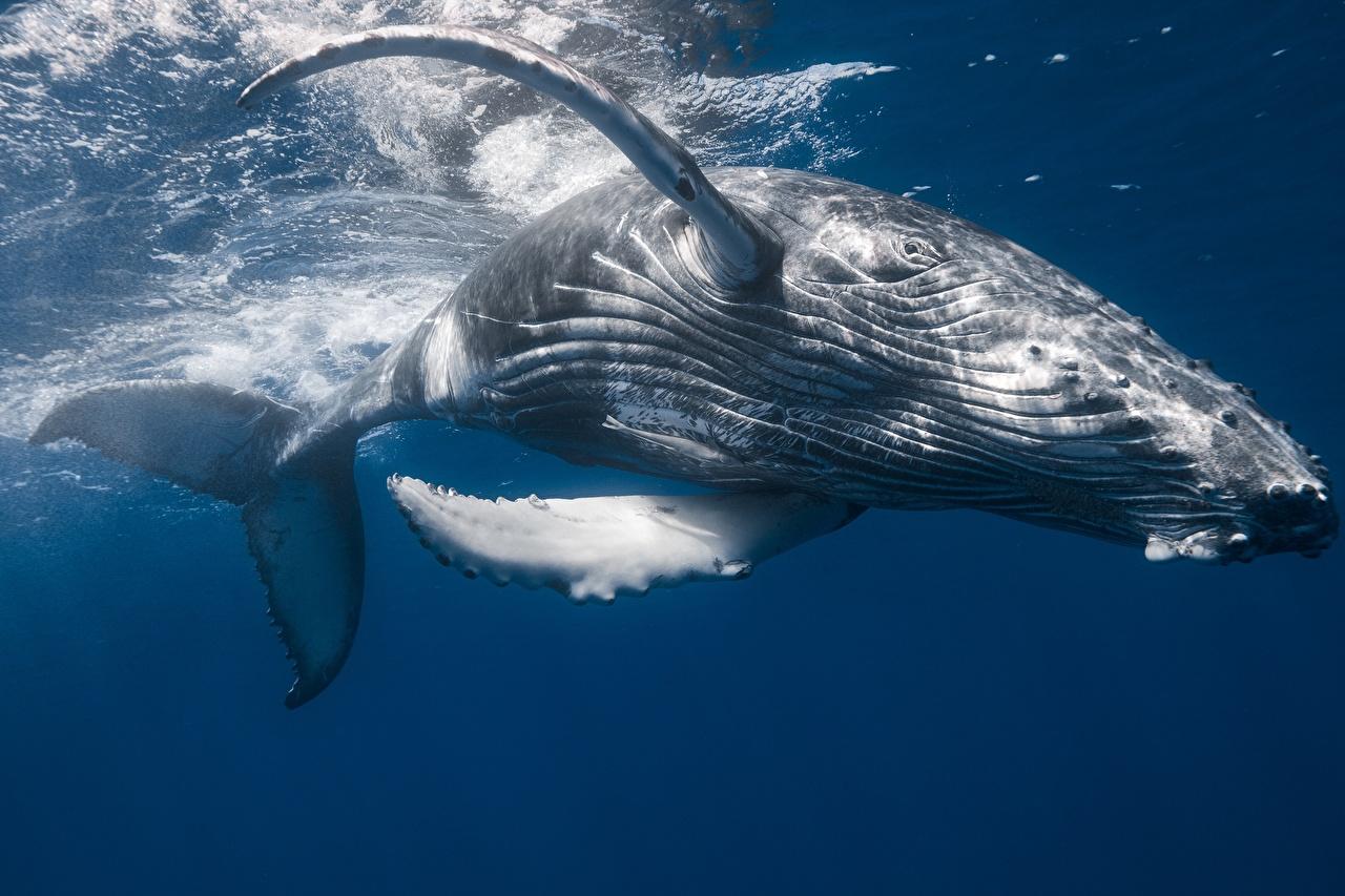 Photo Whale Humpback whale Animals animal