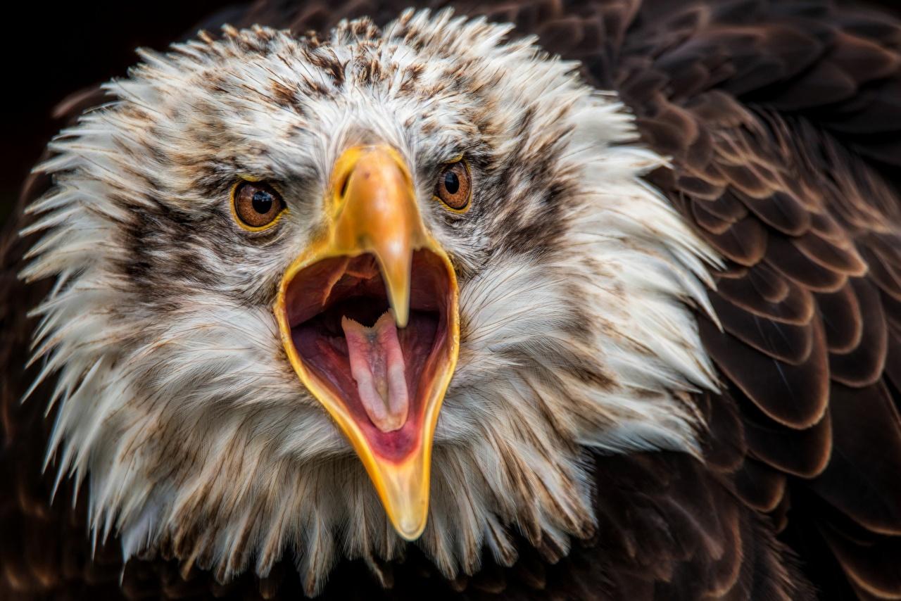 Image Birds Eagles Beak Tongue Head Animals Staring Glance