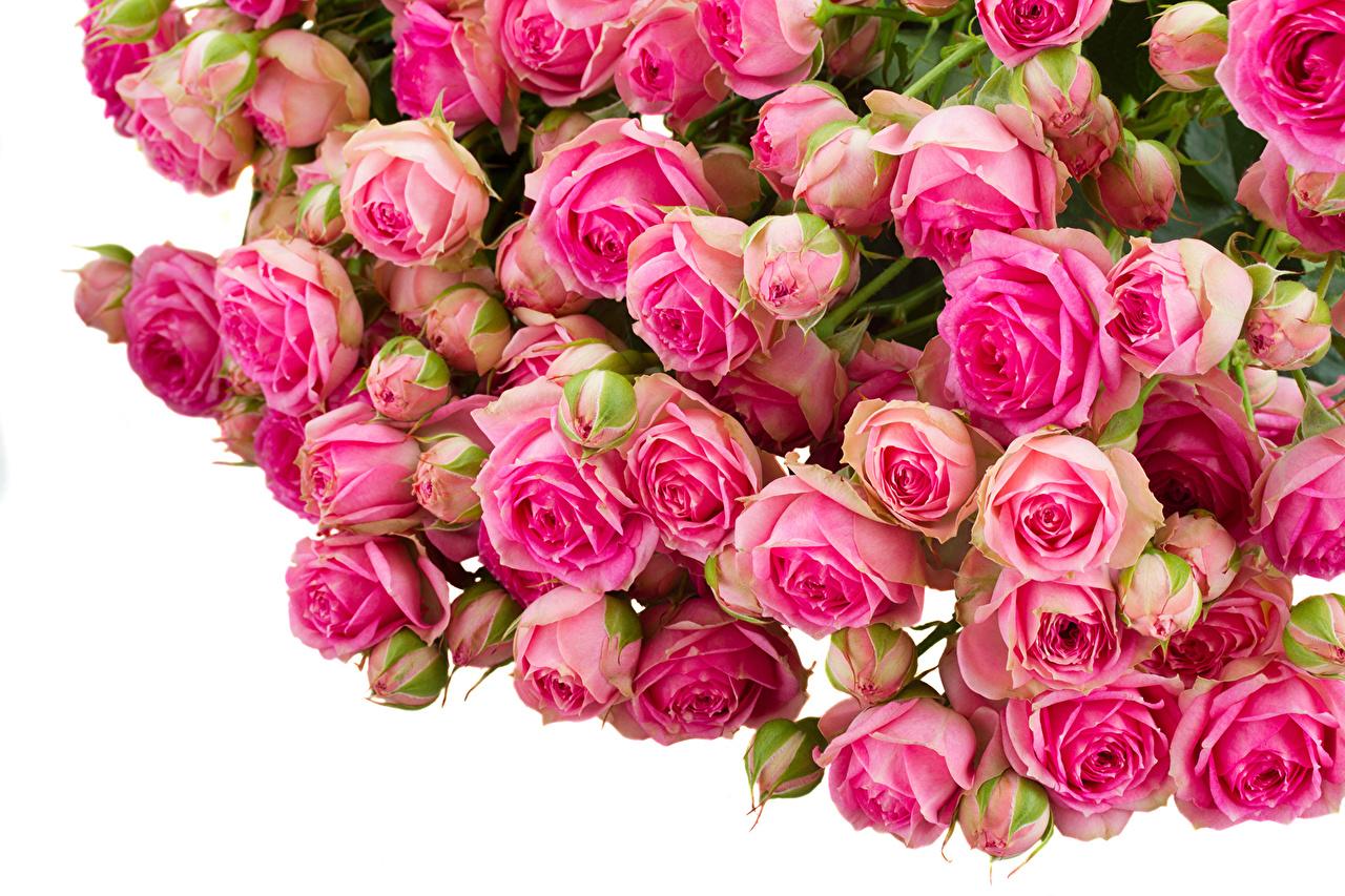 Fonds d'ecran Roses Beaucoup Rose couleur Fleurs télécharger photo
