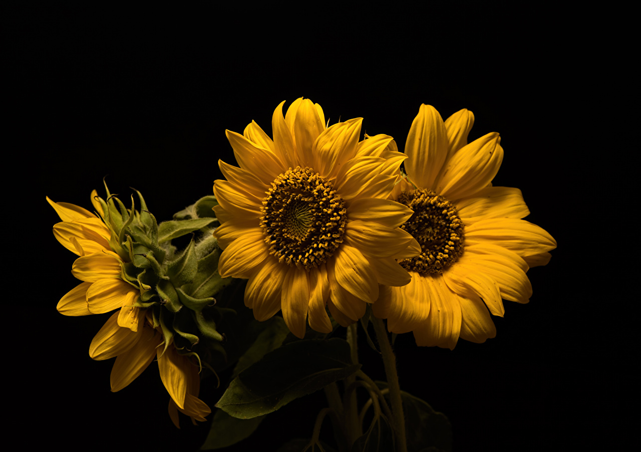Desktop Wallpapers Yellow Flowers Sunflowers Three 3 Closeup Black background