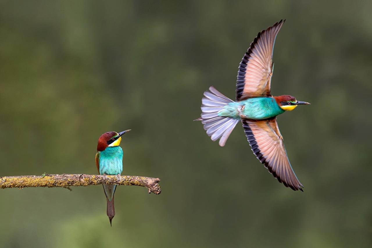 Achtergronden bureaublad Vogels Vleugels Merops Twee 2 vliegende Dieren vogel Vlucht een dier