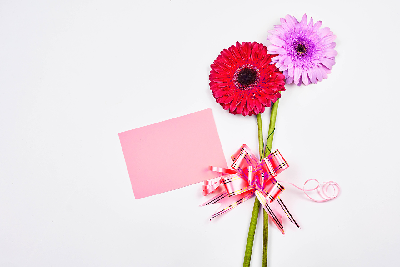 Pictures Sheet of paper 2 gerbera Flowers bow knot Template greeting card White background Two Gerberas flower Bowknot
