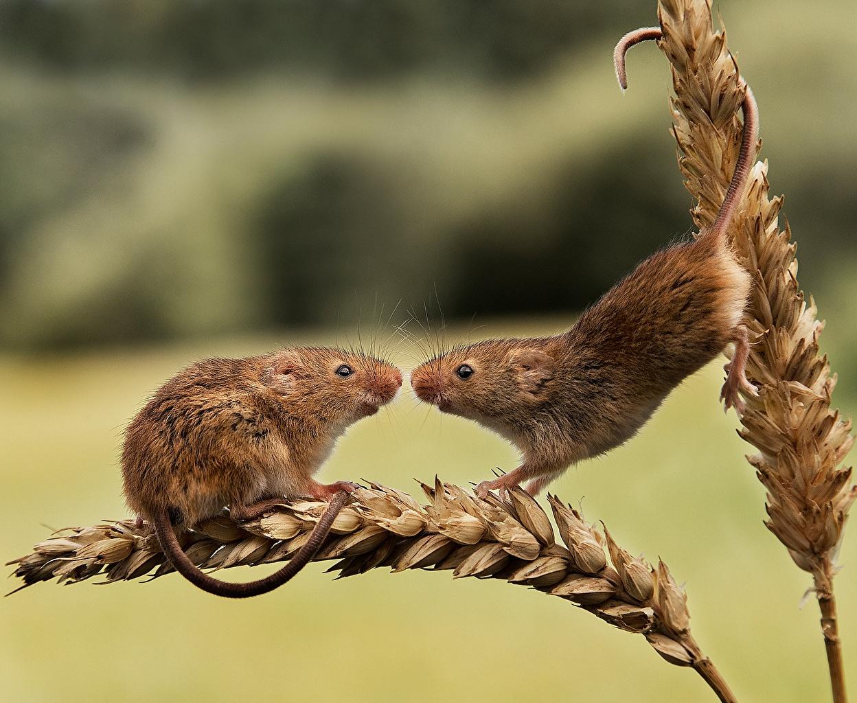Fonds D Ecran Souris Harvest Mouse Deux Epi Botanique Animaux Telecharger Photo