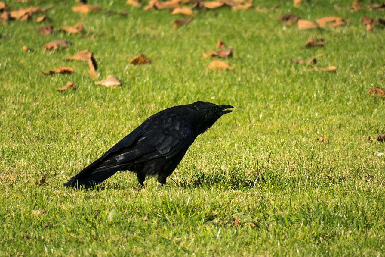 Bilder Vögel Aaskrähe Gras Rasen Tiere