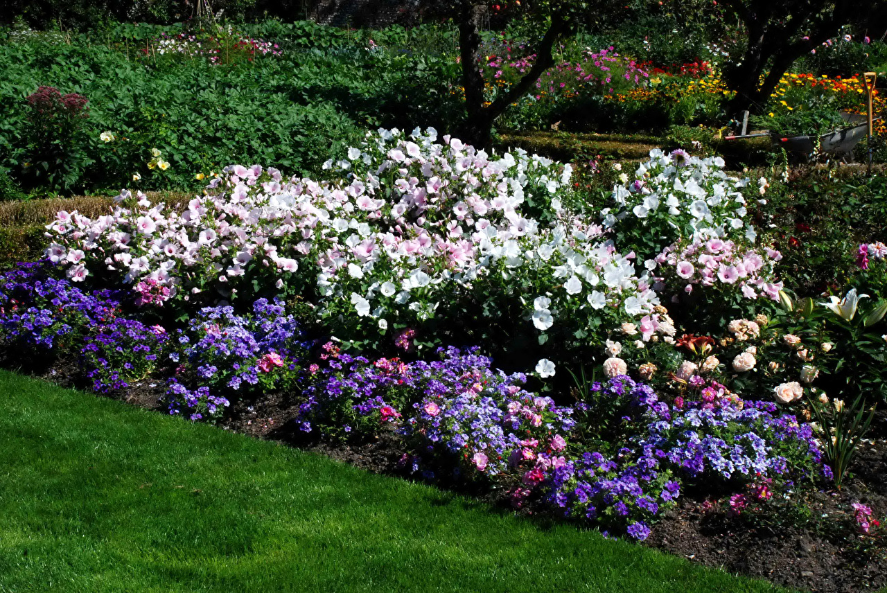 Bilder Natur Hage Phlox Blomster Kattostslekta Busker blomst kattost