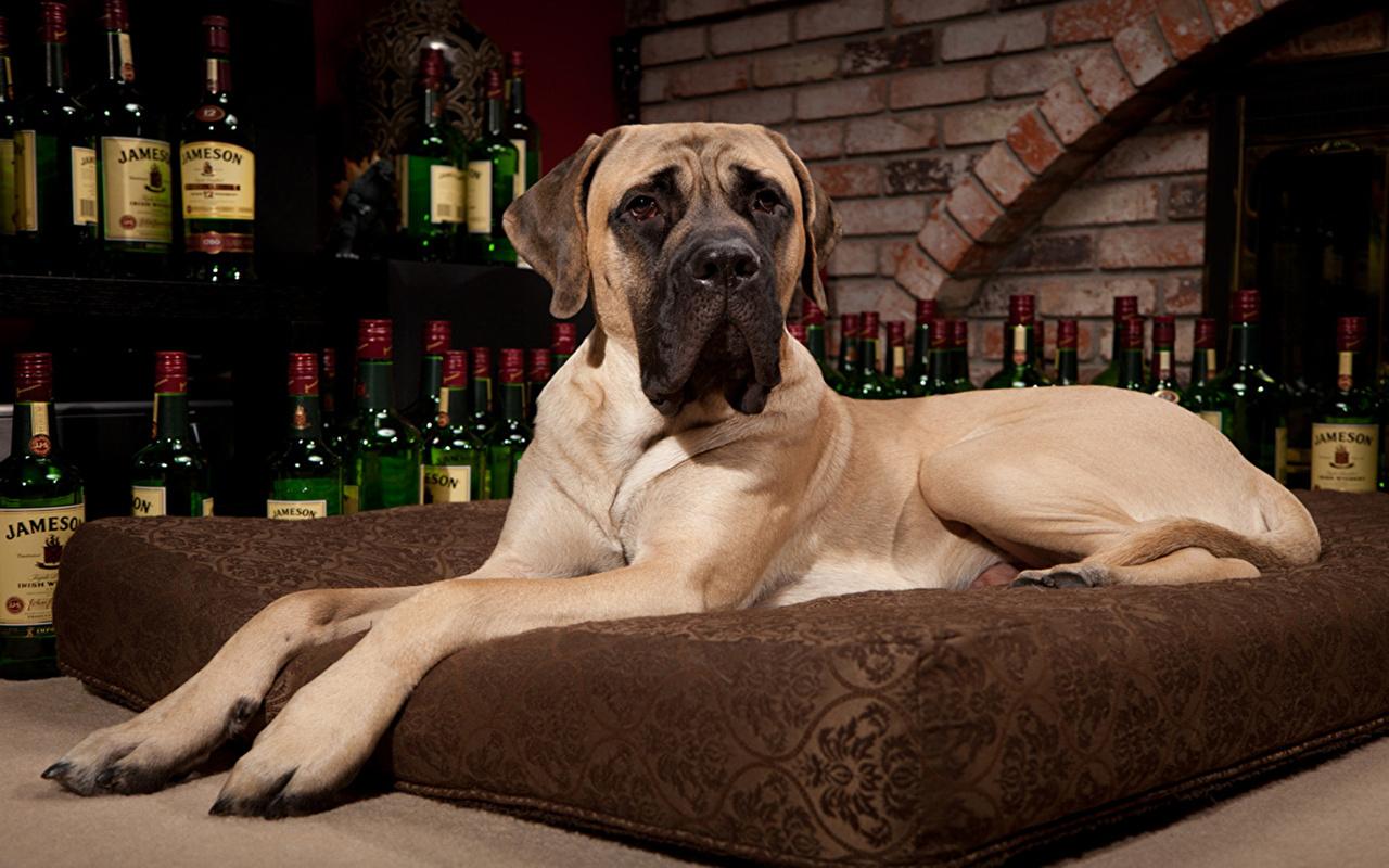 Photos Great Dane Dogs Animals