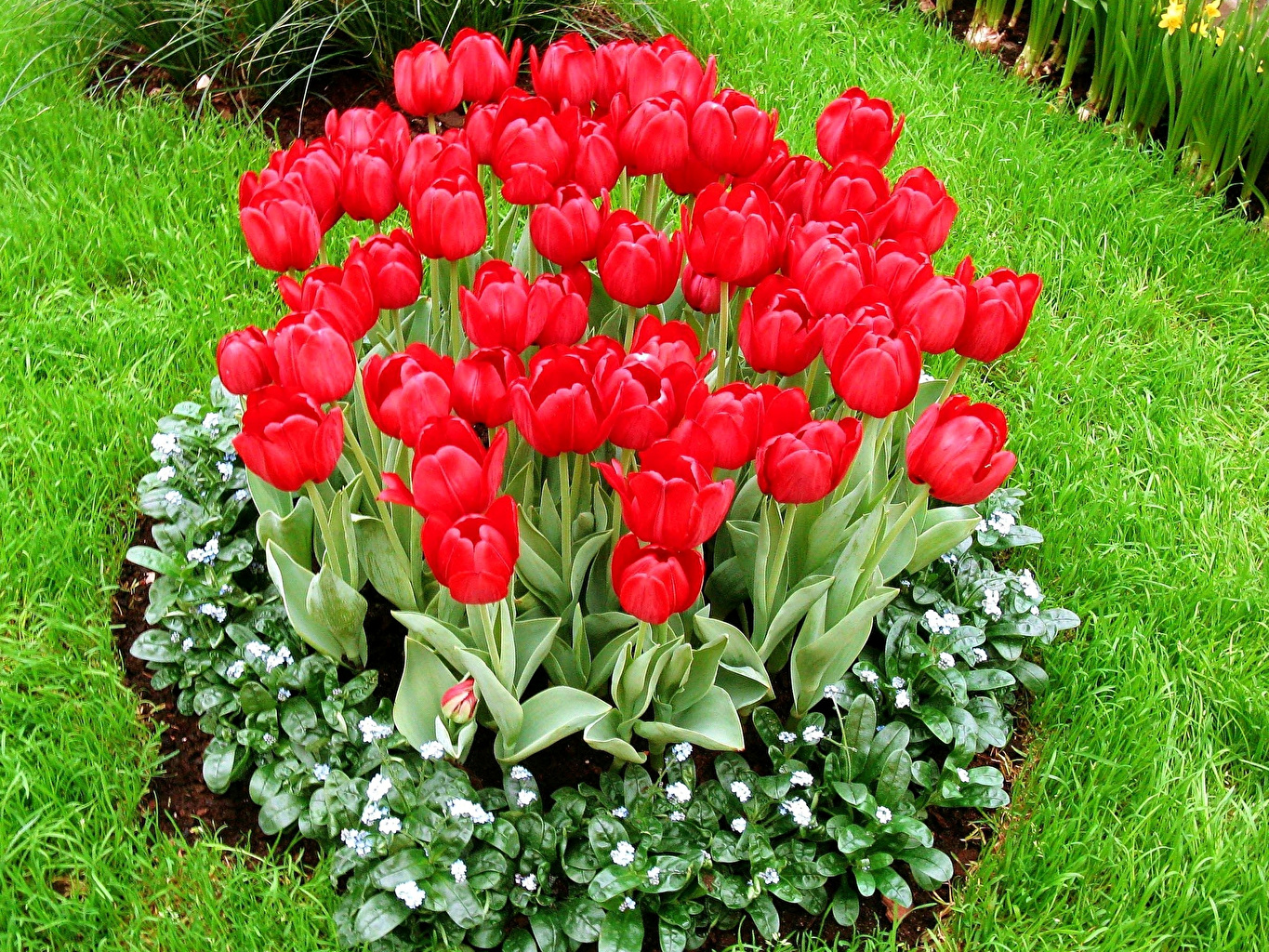 Picture Red tulip Flowers Grass Tulips flower