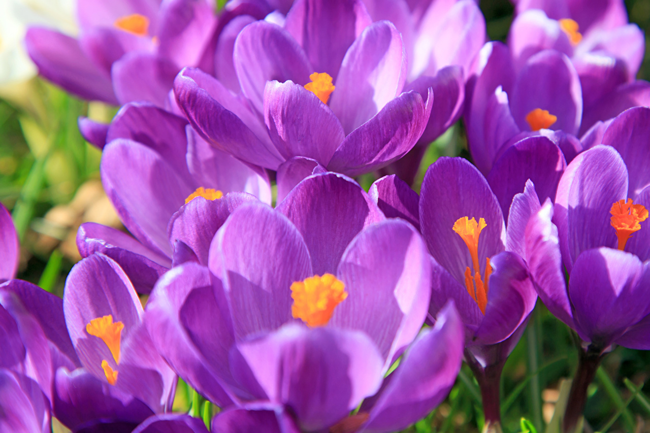 Wallpaper Violet Flowers Crocuses Closeup