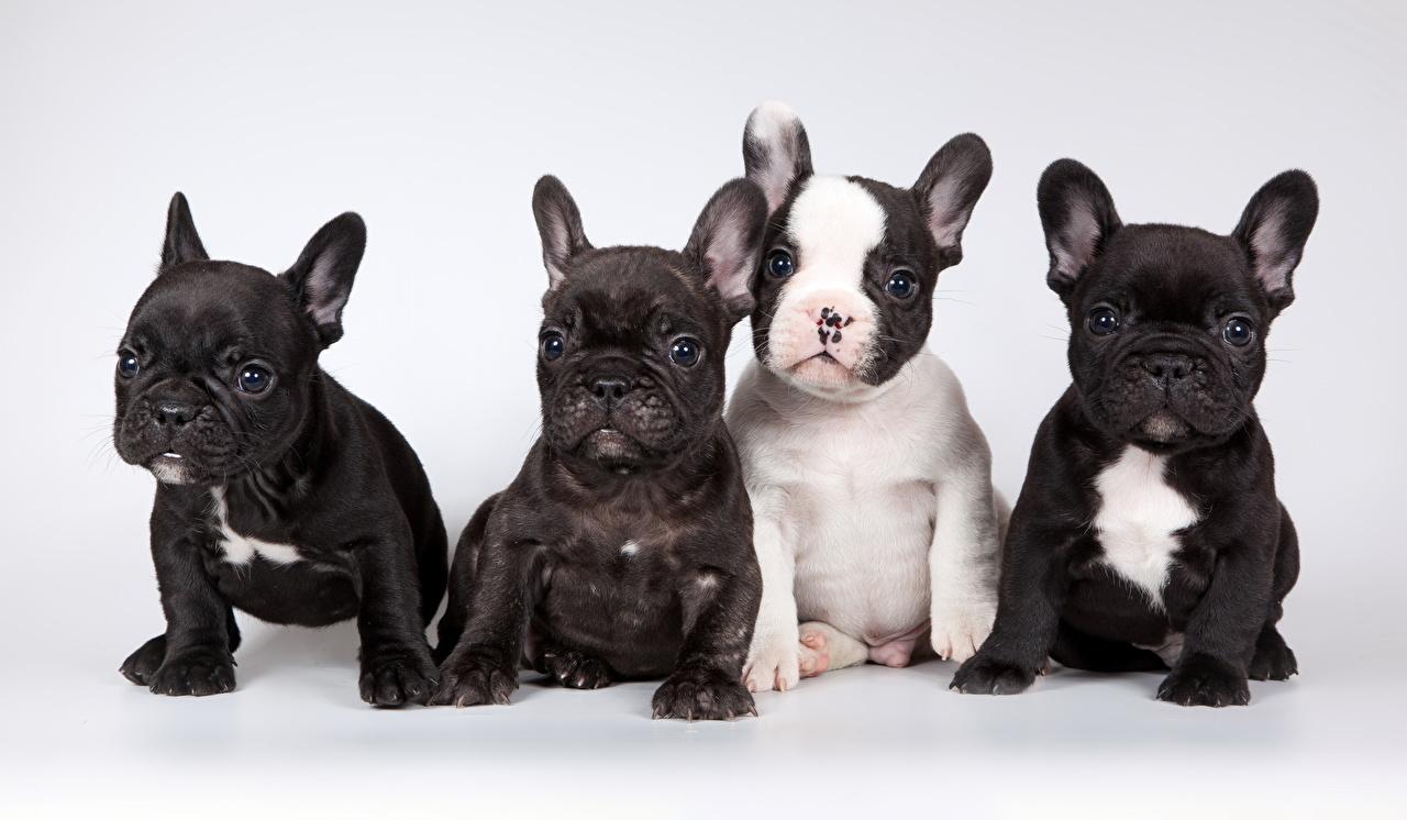 Photo Puppy French Bulldog dog Four 4 sit animal Glance Gray background puppies Dogs Sitting Animals Staring