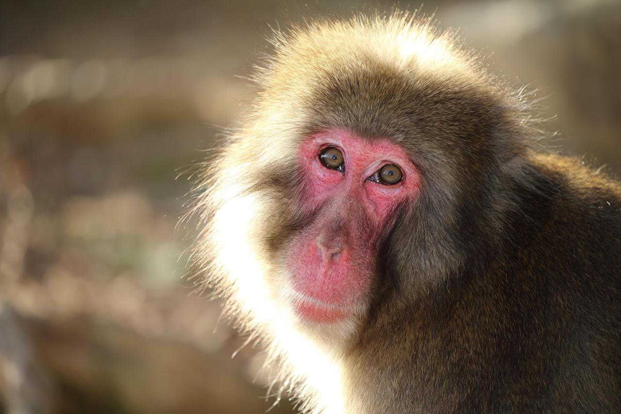 Fotos Affen Snow monkey Starren ein Tier Affe Blick Tiere