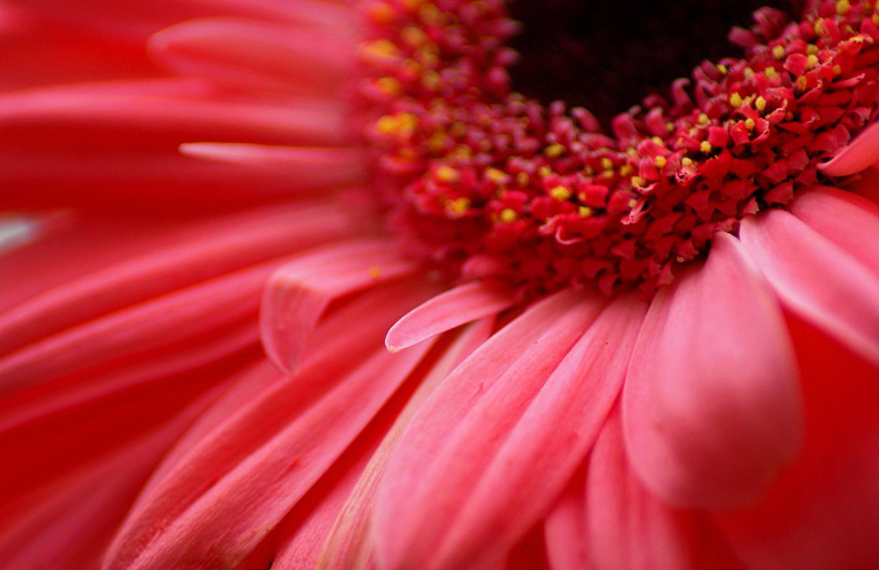 壁紙 ガーベラ クローズアップ 赤 花 ダウンロード 写真