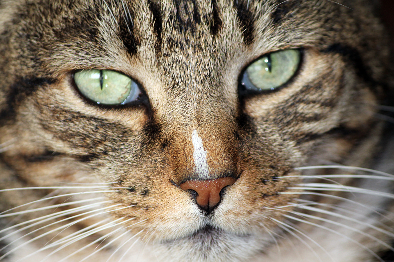 Image cat Eyes Nose Whiskers Snout Glance Closeup Animals Cats animal Staring