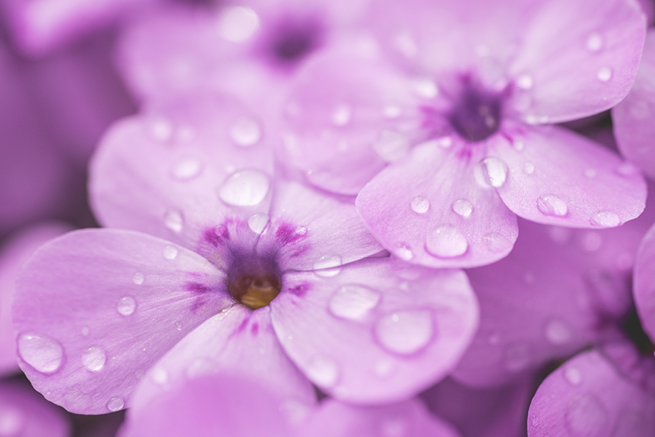 Fotos Violett Phlox Makro Blüte Tropfen Nahaufnahme Blumen Flammenblumen Makrofotografie hautnah Großansicht