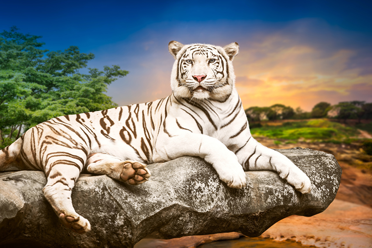 Picture Tigers Big cats White Animals Staring Glance