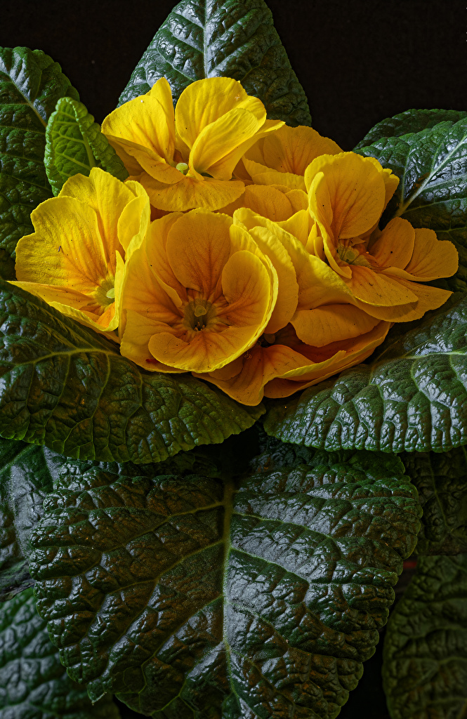 Image Foliage Yellow Primula Flowers Closeup  for Mobile phone Leaf flower