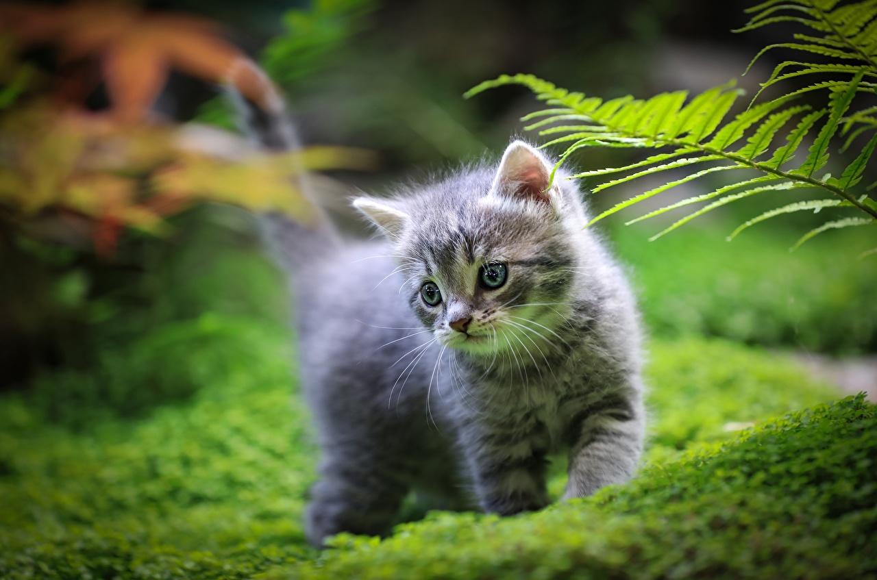 Bakgrundsbilder Kattungar katt Bokeh Gräset Djur Katter tamkatt suddig bakgrund