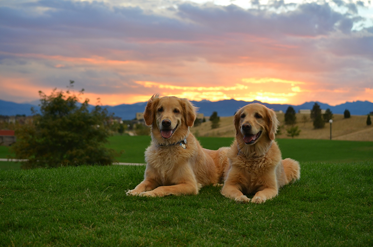 Wallpaper Retriever Dogs 2 Ginger color Sky Fields Sunrises and sunsets Grass Animals dog Two red orange sunrise and sunset animal