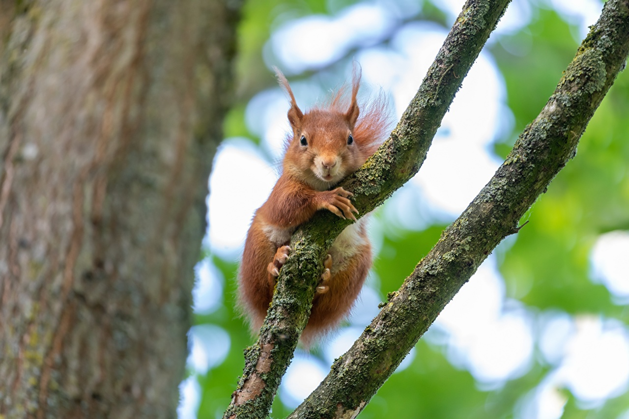 Photos Squirrels Rodents Ginger color Branches Staring Animals red orange Glance animal