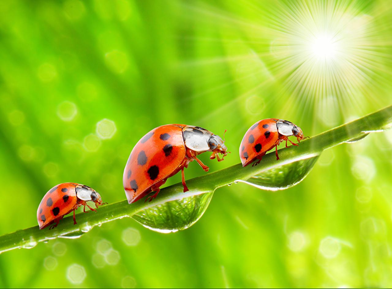 ,瓢虫,特寫,水滴,光射线,三 3,動物,