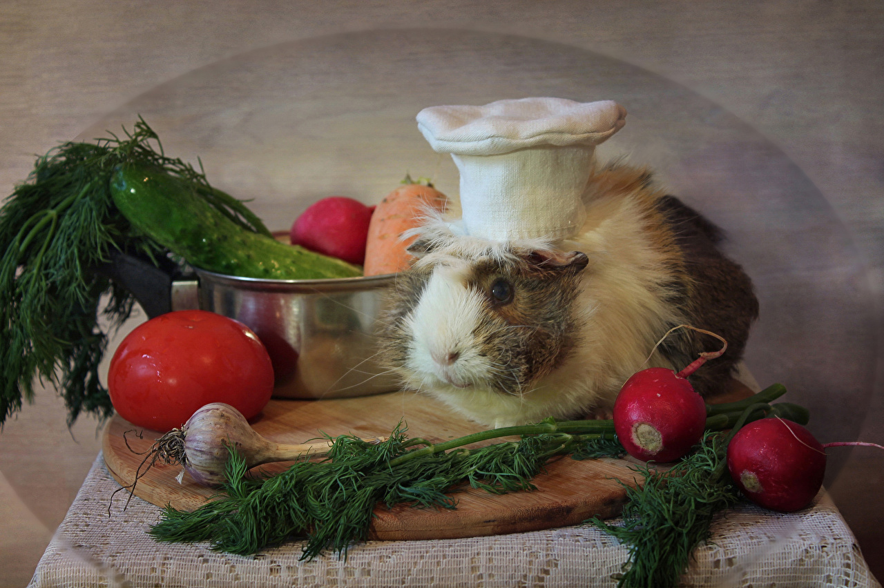 Image cavy Tomatoes Radishes Winter hat Dill Allium sativum Food Cook Vegetables animal cuy Guinea pigs Garlic chef cooks Animals