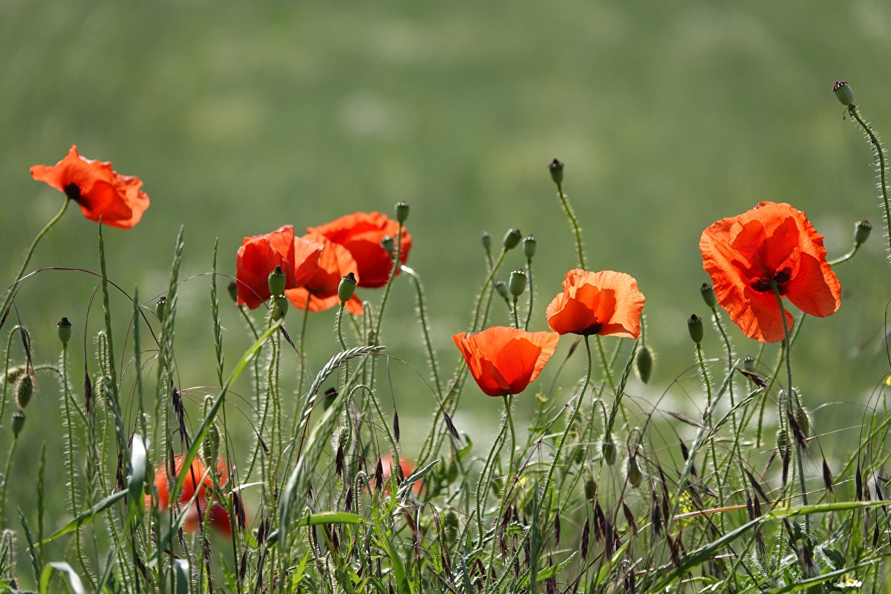 Photo Red flower Poppies Grass Flower-bud papaver Flowers