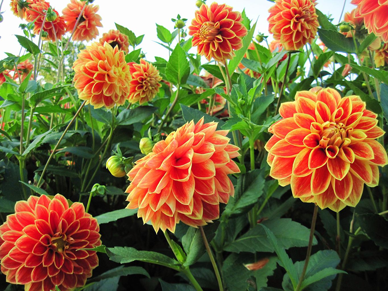 Photo Orange Dahlias Flowers Closeup Flower-bud flower