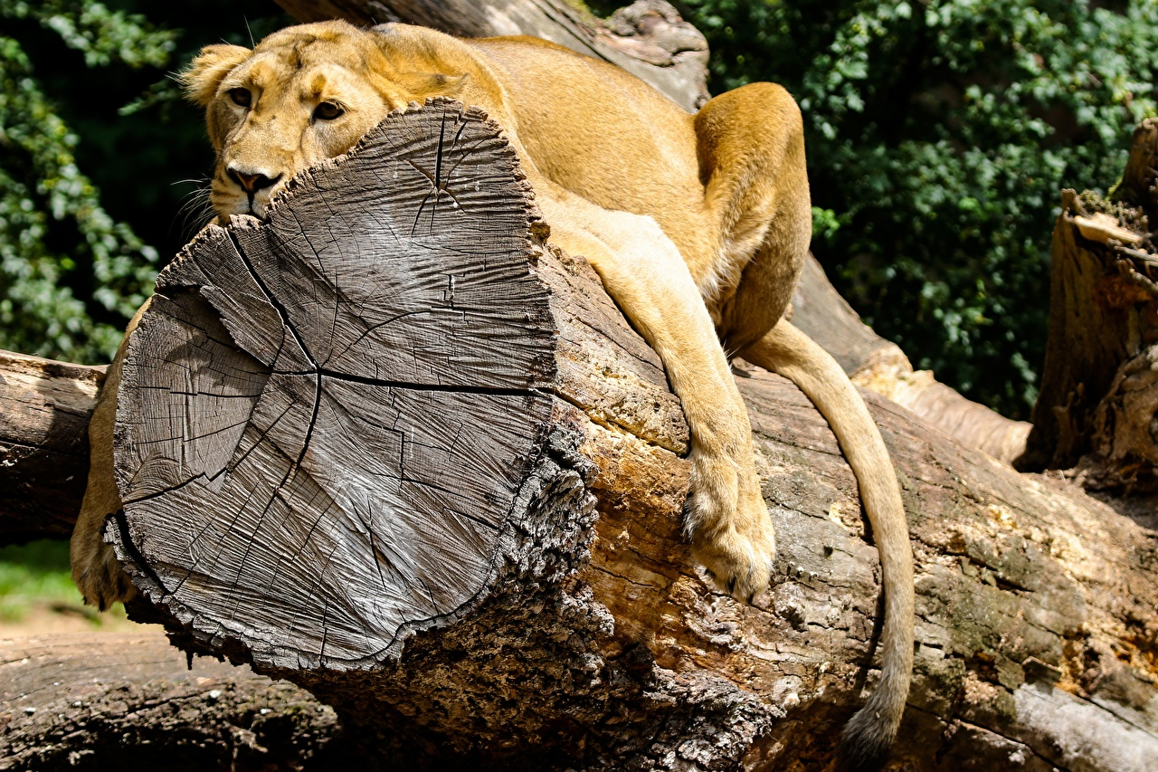Photos lion Lying down Rest Wood log Paws Trunk tree animal Lions laying esting relax Resting Animals